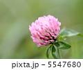 赤詰草 ムラサキツメクサ 紫詰草の写真 5547680