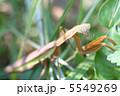 螳螂 かまきり 生物の写真 5549269