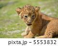 赤ちゃんライオン 5553832