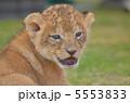 赤ちゃんライオン 5553833