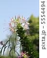 セイヨウフウチョウカ 西洋風蝶花 クレオメの写真 5554494