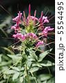 セイヨウフウチョウカ 西洋風蝶花 クレオメの写真 5554495