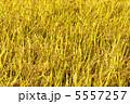 【A3対応】黄金咲く稲穂 2 5557257