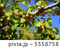ギンナン ぎんなん 木の実の写真 5558758