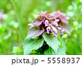 姫踊子草 ヒメオドリコソウ 植物の写真 5558937
