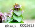姫踊子草 ヒメオドリコソウ 植物の写真 5558938