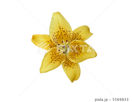 Yellow lilly flower isolated on whiteの写真素材 [5569833] - PIXTA