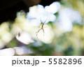節足動物 ジョロウグモ 女郎蜘蛛の写真 5582896