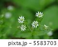 ウシハコベ ハコベ 草花の写真 5583703