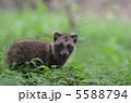 仔狸 タヌキ 陸上動物の写真 5588794