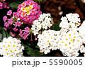 ランタナ 七変化 シチヘンゲの写真 5590005