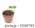 苗 発芽 芽生えの写真 5590793