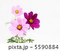 こすもす コスモスの花 アキザクラの写真 5590884