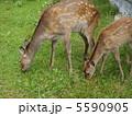 エゾ鹿 子連れ 親子の写真 5590905