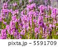 花虎の尾 ハナトラノオ カクトラノオの写真 5591709