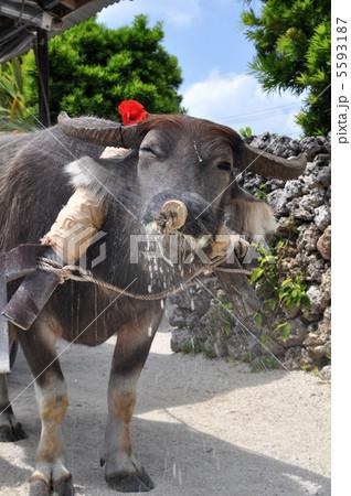 竹富島の水牛 5593187