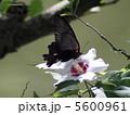 アゲハ蝶とムクゲの花蜜 5600961