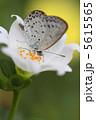 シジミチョウ チョウ ヤマトシジミの写真 5615565