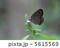 ちょう ヒメウラナミジャノメ チョウの写真 5615569