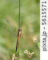 トンボ とんぼ シオカラトンボの写真 5615571