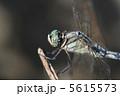 とんぼ シオカラトンボ トンボの写真 5615573