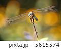 トンボ とんぼ シオカラトンボの写真 5615574