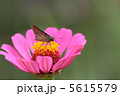 ちょう チョウ セセリチョウの写真 5615579