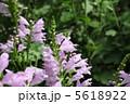 カクトラノオ ハナトラノオ 花の写真 5618922