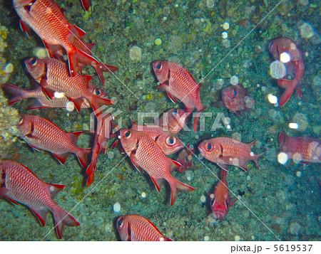金目鯛の群れ(慶良間諸島/沖縄県) 5619537