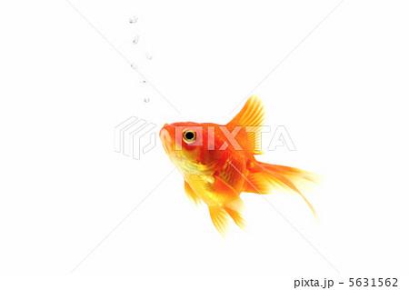 赤い金魚とあぶくの泡 5631562