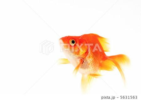 指差す(ヒレ指す)しぐさの赤いキンギョ  5631563