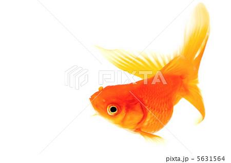 赤い金魚 上昇・旋回中の魚 5631564