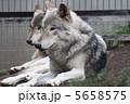 森林狼 シンリンオオカミ オオカミの写真 5658575