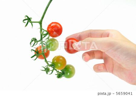 ミニトマトの収穫 5659041
