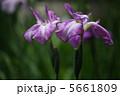 ショウブ 花菖蒲 ハナショウブの写真 5661809