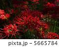 紅の曼珠沙華 5665784