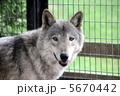 シシリアンオオカミ オオカミ 狼の写真 5670442