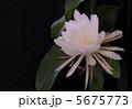 月下美人 ゲッカビジン 花の写真 5675773