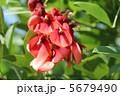 カイコウズ 海紅豆 亜米利加梯梧の写真 5679490