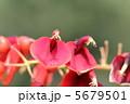 カイコウズ 海紅豆 亜米利加梯梧の写真 5679501