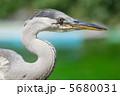 鷺 青鷺 サギの写真 5680031