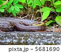 シマヘビ 縞蛇 蛇の写真 5681690