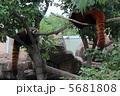 二匹のレッサーパンダ 5681808