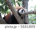 のんびりレッサーパンダ 5681809