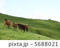 宮崎県串間市都井岬の野生馬 5688021