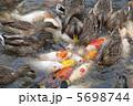 錦鯉 かるがも 軽鴨の写真 5698744