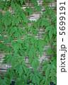 ゴーヤ グリーンカーテン 植物の写真 5699191
