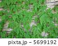 ゴーヤ グリーンカーテン 植物の写真 5699192