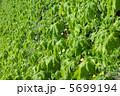 ゴーヤ グリーンカーテン 植物の写真 5699194