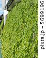 ゴーヤ グリーンカーテン 植物の写真 5699196